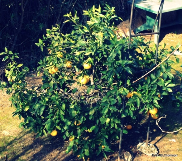 Our grapefruit are nearly ready.