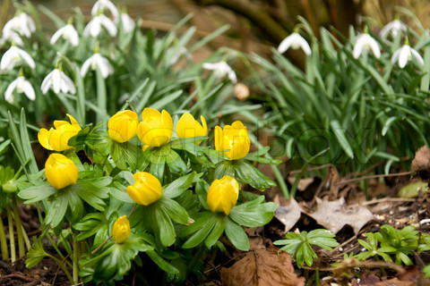 Our springtime UK woodland garden was carpeted with snowdrops and winter aconites.