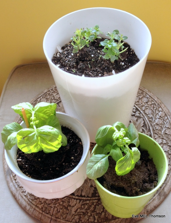 Greek and Italian Basil