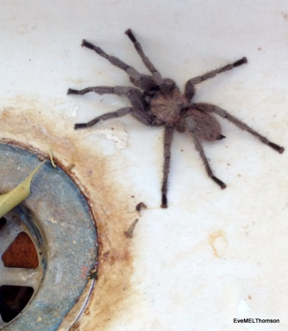 A baby Cyprus Tarantula in the garden sink. I let it go.