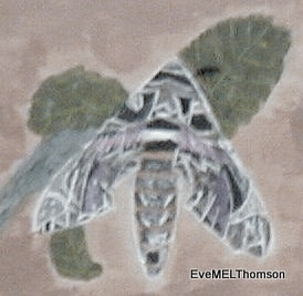 The beautiful Oleander Hawk Moth