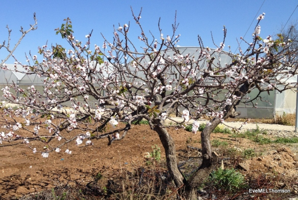 An almond tree in spring