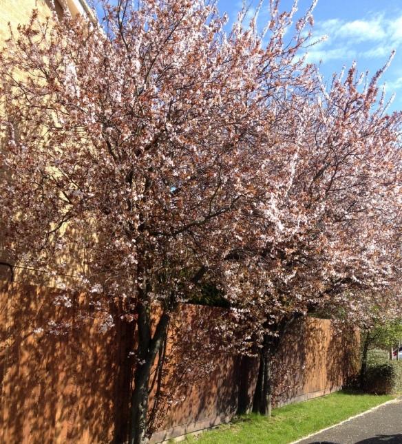 Delicate Prunus blossom