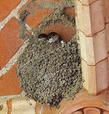 House Martins in the nest