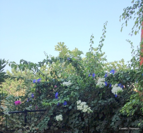 Bougainvillea and blue morning glory decorate a plain corner.
