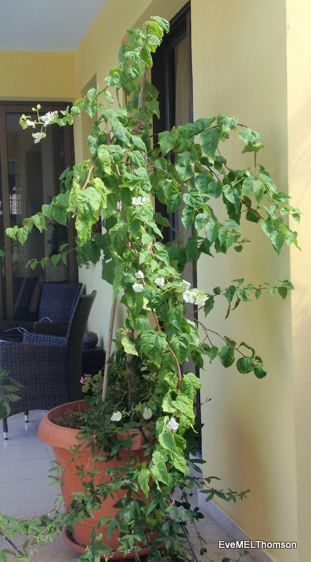 The  trimmed plant with a purple passion flower below.