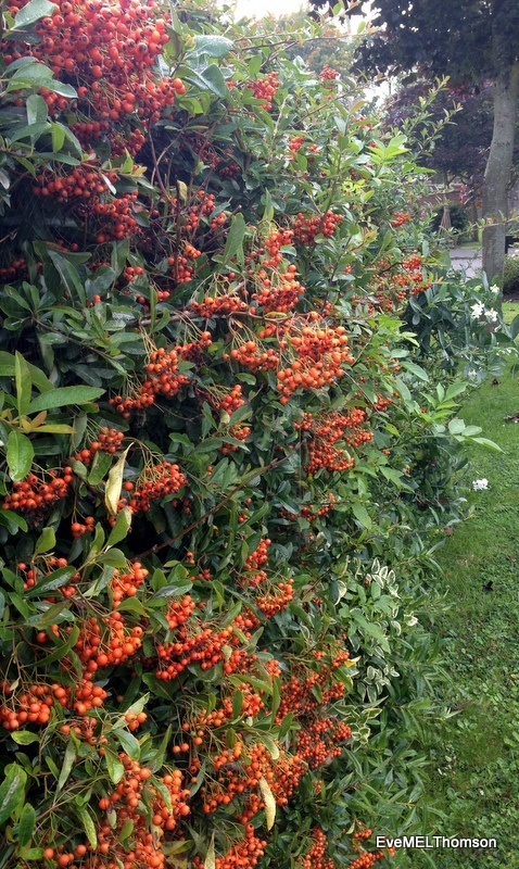 A hedge of pyracantha