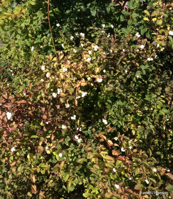 A snowberry bush or symphoricarpos