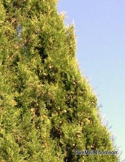 Fir cones, Cyprus