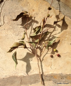 Seeds, Ficus