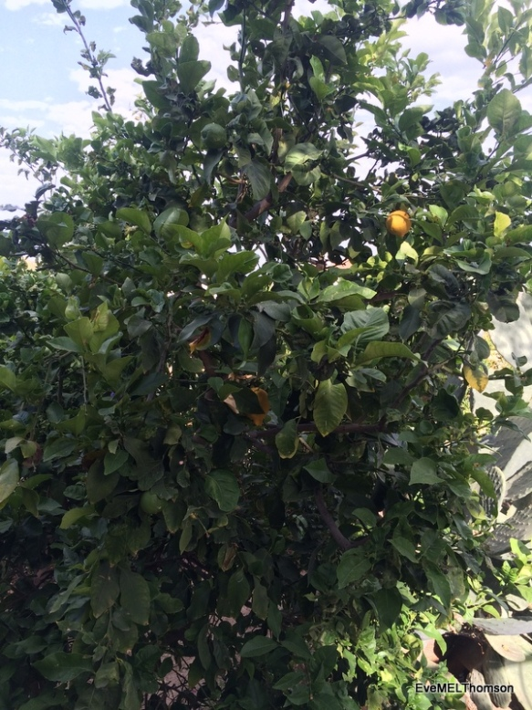 2016-05-22 Lemons- last ones on our tree