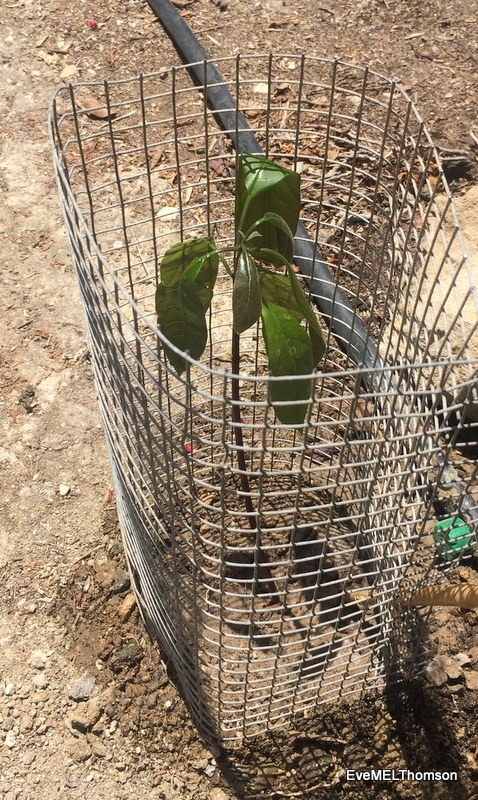 2016-06-Avocado- young plant